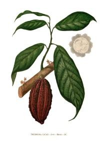 theobroma_cacao_blanco_clean